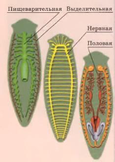 Плоские черви реферат с картинками 5634